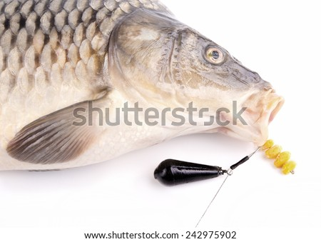 Carp fishing with hair rig and lead sinker - stock photo