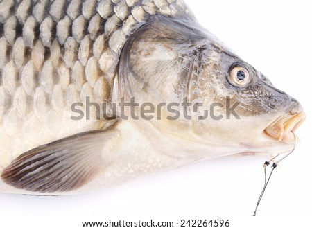 Carp with fishing spring feeder and fishing hook - stock photo
