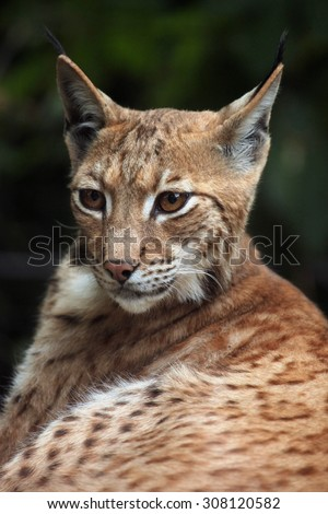 Carpathian lynx (Lynx lynx carpathica). Wild life animal.  - stock photo