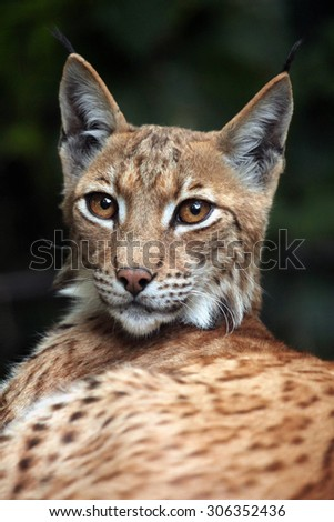 Carpathian lynx (Lynx lynx carpathica). Wild life animal. soft focus. - stock photo