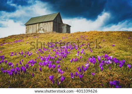Carpathian mountain valley covered by a carpet of beautiful flowers crocus, or saffron. Low dramatic clouds in a sky. Spring time.