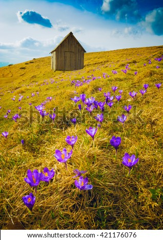 Carpathian mountain valley covered by a carpet of crocus flowers. Spring time.