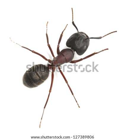 Carpenter ant, Camponotus herculeanus isolated on white background, this ant is a major pest on houses - stock photo