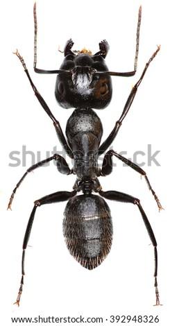Carpenter Ant on white Background  -  Camponotus vagus (Scopoli, 1763) - stock photo