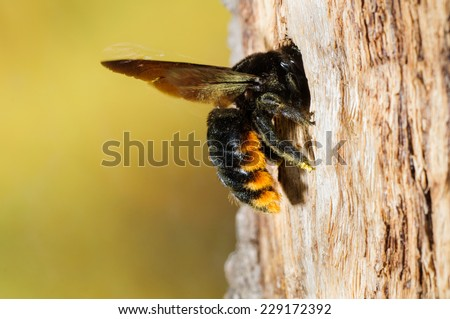 Carpenter Bee (Xylocopa augusti) in flight arriving at burrow. Patagonia, Argentina, South America. - stock photo