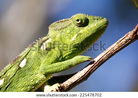 Carpet Chameleon (Furcifer lateralis) - Rare Madagascar Endemic Reptile