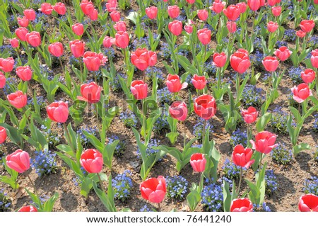 Carpet of pink tulips - stock photo