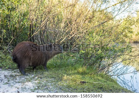 Carpincho (Capybara) on El Palmar National Park, one of Argentina's national parks, located on the center-west of the province of Entre Rios, between the cities of Colon and Concordia. - stock photo