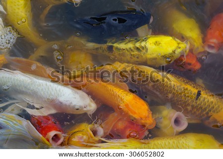 carps crowding together competing for food