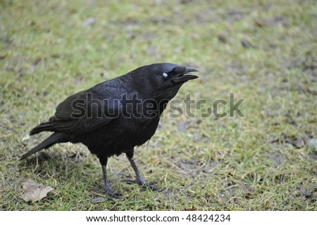 carrion crow chirping on green grass field - stock photo