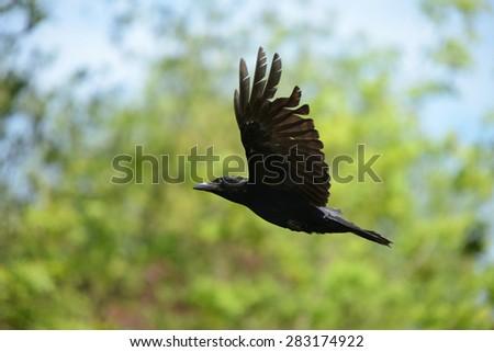 Carrion Crow, Corvus corone - stock photo
