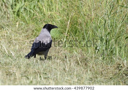 Carrion crow looking for food on a meadow.  - stock photo