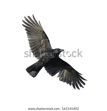 Carrion crow with wide-spread wings isolated against white background. - stock photo