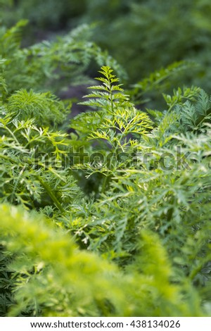 carrot leaves in the garden - stock photo