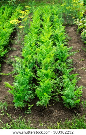 Carrot patch, growing organic vegetables in the garden - stock photo