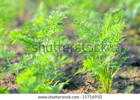 carrot plants - stock photo