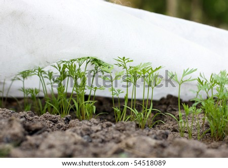 Carrot sprouts - stock photo