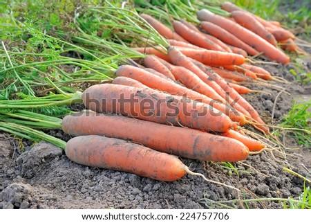 Carrots in the vegetable garden, selective focus - stock photo