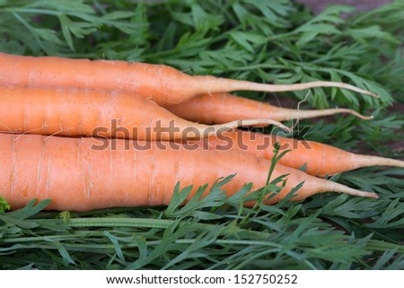 carrots with tops on the wooden background