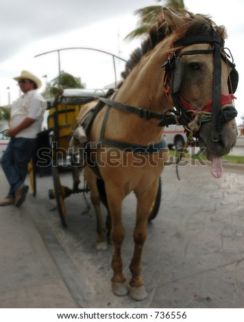 cart horse sticking tongue out - stock photo