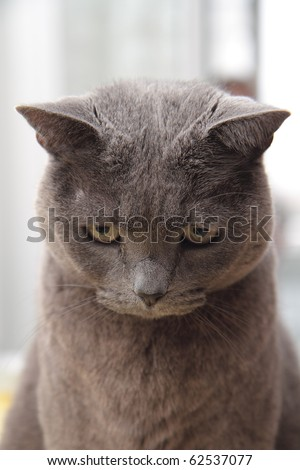 Carthusian cat breed in the foreground