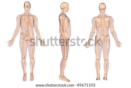 cartoon skeleton anatomy - stock photo