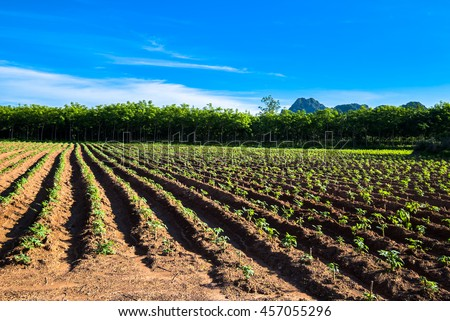 Cassava and rubber tree Farm at Noen Maprang district, Phitsanulok, Thailand