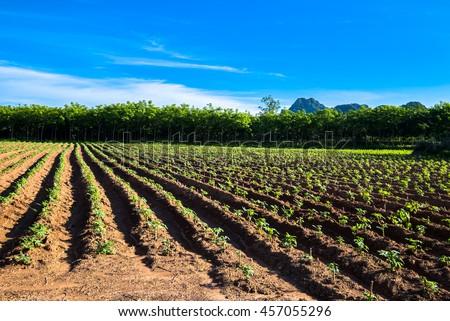 Cassava and rubber tree Farm at Noen Maprang district, Phitsanulok, Thailand - stock photo