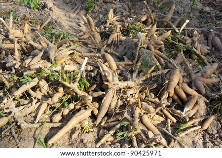 Cassava bulb and cassava tree on ground .Thailand - stock photo