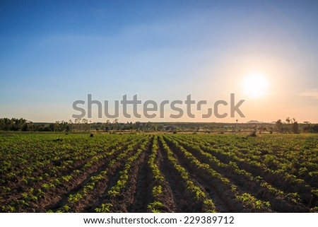 Cassava farmland agriculture in Thailand  - stock photo