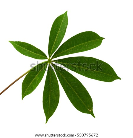 Cassava leaf isolated on white background