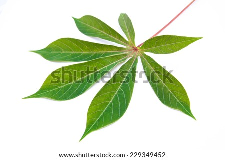 Cassava leaf on white background