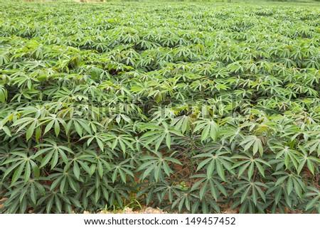 Cassava or manioc plant field in Thailand  - stock photo