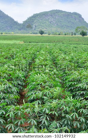 Cassava plantation in Thailand - stock photo