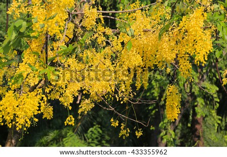 Cassia fistula or Golden shower bloom on tree in the garden,In Thailand are named is Ratchaphruek.