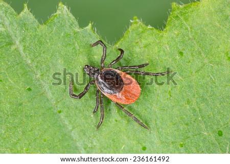 Castor bean tick, Ixodes ricinus  - stock photo