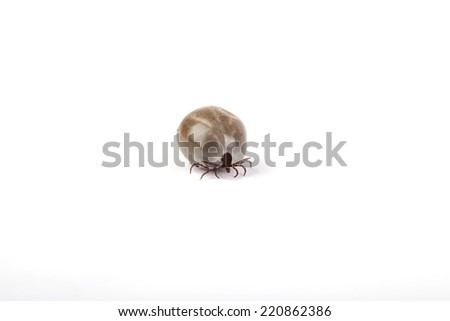 castor bean tick sucked full with blood on white background,  - stock photo