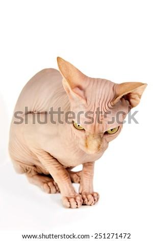 cat a sphinx on a white background in studio - stock photo