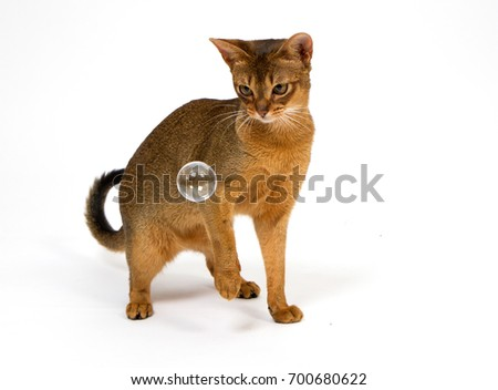 cat abyssinian play white background bubble