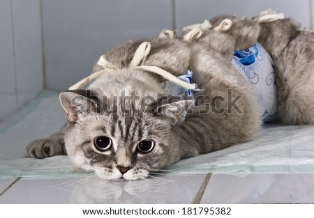 Cat after a surgical operation - stock photo
