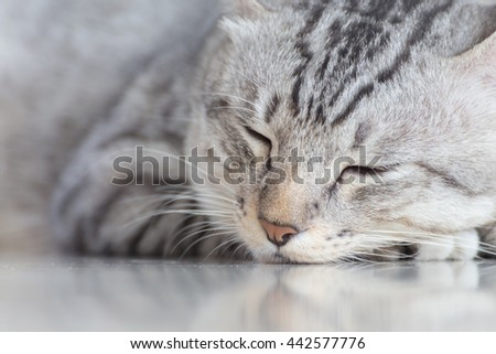 cat (American Shorthair) sleeping on the floor - stock photo