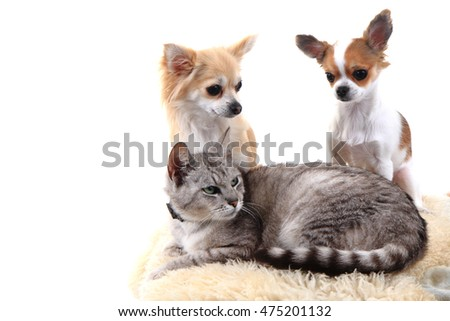 cat and chihuahuas are resting isolated on the white background