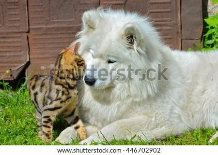 Cat and dog, Bengal cat, samoyede dog - stock photo