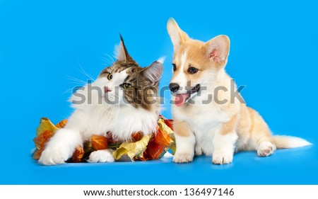 Cat and dog, Cat  maine coon and  corgi puppy - stock photo