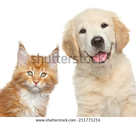Cat and dog. Close-up portrait of Golden Retriever puppy and Maine Coon kitten - stock photo