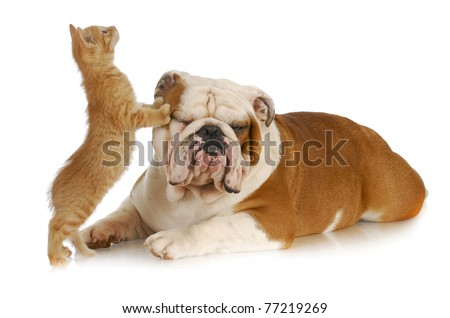 cat and dog - kitten climbing on english bulldog with reflection on white background - stock photo