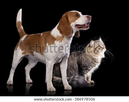cat and dog, Siberian cat and  beagle look up - stock photo