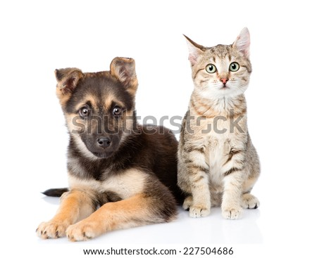 cat and dog sitting in front. isolated on white background - stock photo