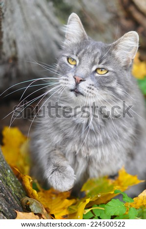 cat and fallen dry leaves, autumn - stock photo