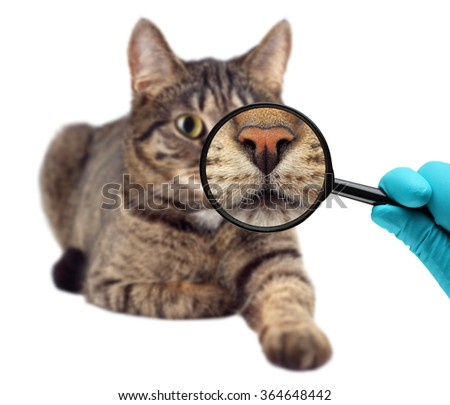 Cat and magnifying glass. Veterinarian doctor making check-up of a cat. - stock photo